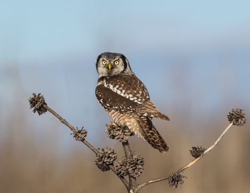 Northern Hawk Owl Perched