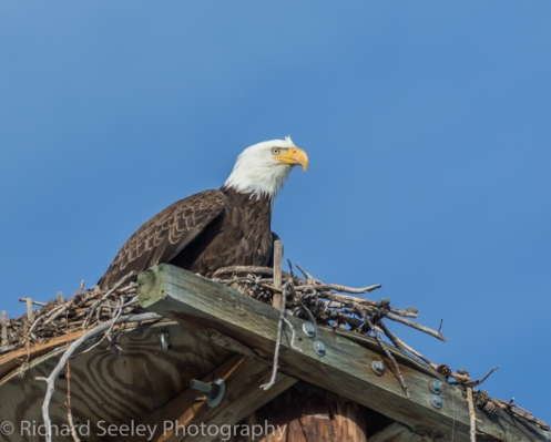 Bald Eagle with an eye on this photographer