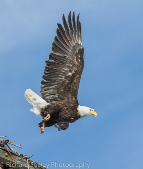 Eagle departing nest