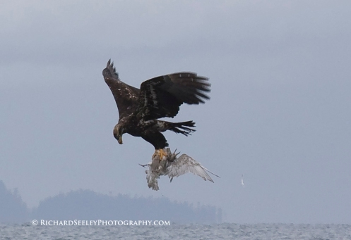 Eagle Grabs Gull, Carkeek Park Seattle