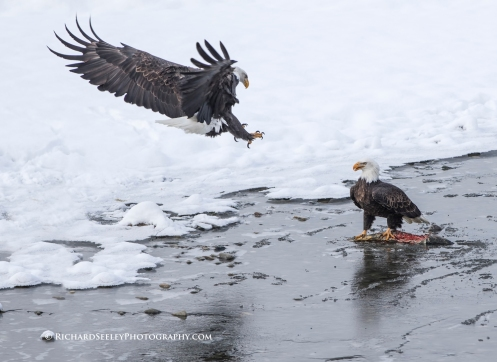 In-Coming - A bald eagle attacks another eagle in order to force a retreat and steal the salmon. Haines, Alaska.