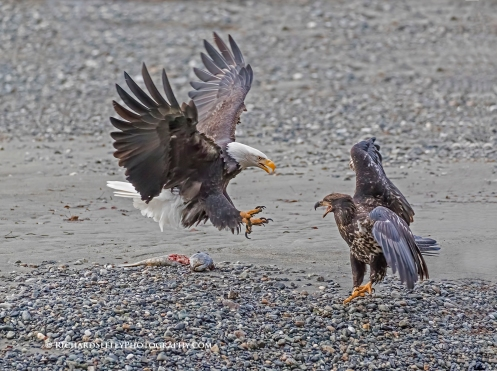 Retreat - A juvenile bald eagle retreats from an attack of an in-coming eagle that is attempting to steal its prey. Haines, Alaska.