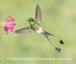 Male Booted Racket-tail - Male Booted Racket-tail hummingbird with wings and split tail spread hovers at a flower.