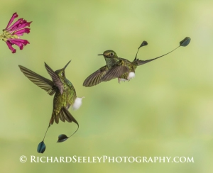 Fighting For The Flower - Two male Booted Racket-tail hummingbirds (you can see their little booties on their feet, and their racket-like twin tails) take aggressive positions (face-off, twin tails spread out) over who gets to the flower first.