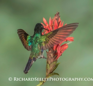Velvet-Purple Coronet - A Velvet-Purple Coronet hummingbird feeds on the nectar in a flower.