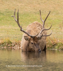 Wapiti Watering Hole