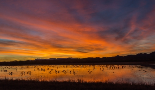 Sandhill Cranes Roosting Sunset - Sandhill cranes arrive at the ponds and roost for the night just as the sun is setting. Roosting in ankle deep water protects them from approaching predators. Bosque del Apache Wildlife Refuge, New Mexico.