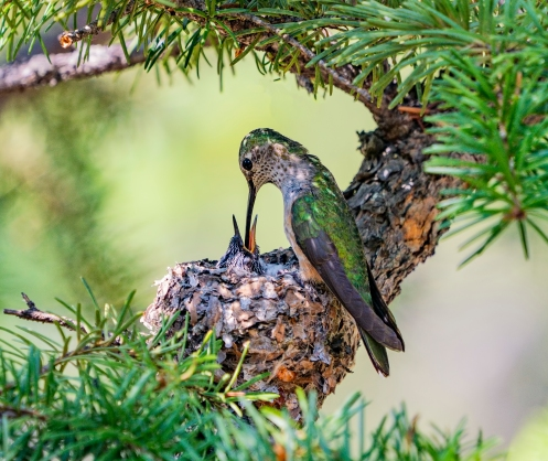 Parent Hummingbird Feeds Chick